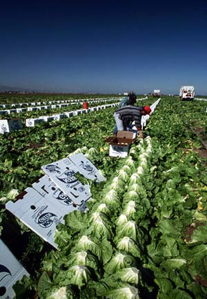 VG05073 Mechanical Harvesting of Selected Vegetables - Feasability study - 2006