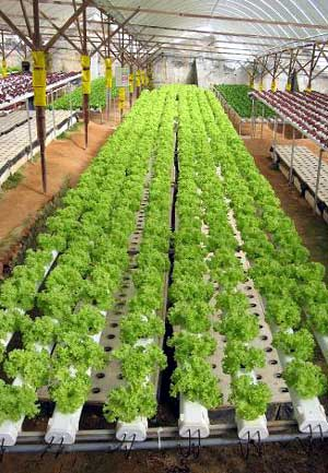 Vg04012 Hydroponic Lettuce Root Rot Researchers Pdfs