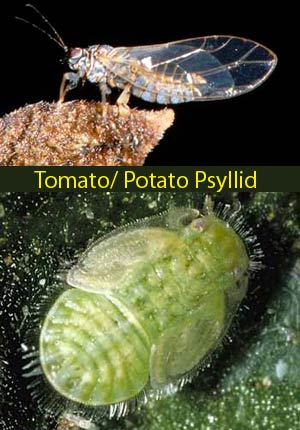 IPM in Australian potato crops and the threat from potato psyllid - 2009