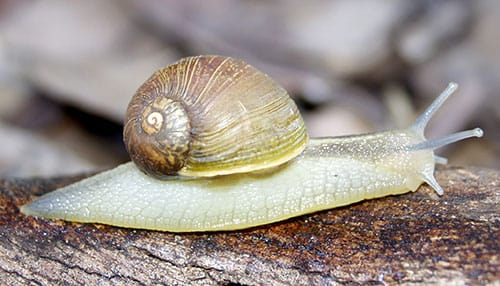 Adult Green Snail