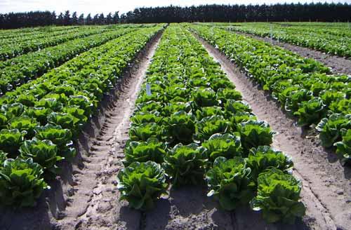 Lettuce Crop - Gazzola Farms