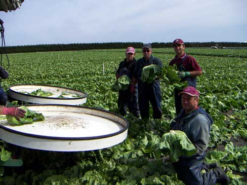 Lettuce Harvesting - Gazzola Farms