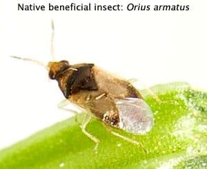 Beneficial insect - Orius armatus