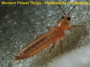 Western Flower Thrips - Insect Pest and virus vector