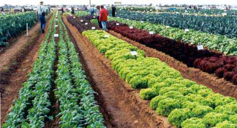 Vegetable variety trials