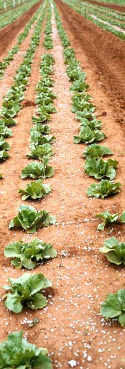 Banded fertiliser on lettuce