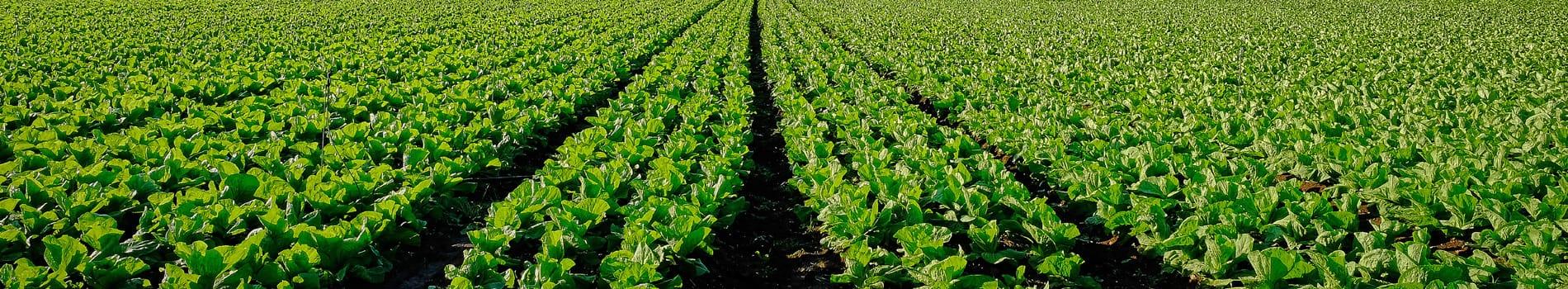 ausvegvic lettuce slider
