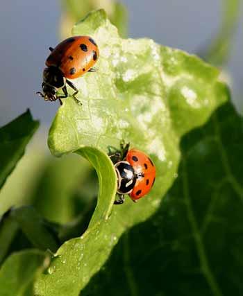 ladybird beetle 1