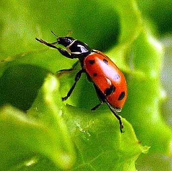 Ladybird beetle 2
