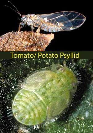 Bactericera cockerelli - adult and nymph